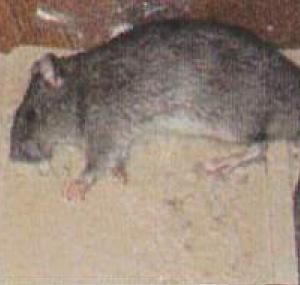 ネズミなどの死骸臭 対策として使用